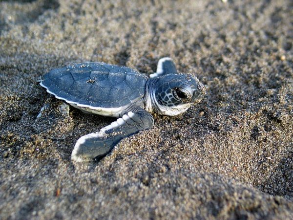 baby sea turtle on sand