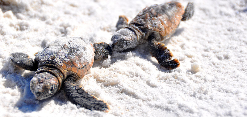 baby sea turtle crawling on sandy beach