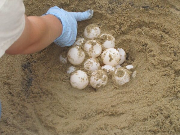 sea turtle eggs being planted